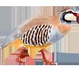 Red-legged Partridge image
