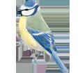 Blue Tit image